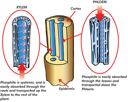 Phosphite versus Phosphate Xylem And Phloem In Plants