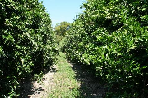 Azomite Treaded Orange grove